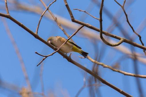 Greenfinch, Bird, Branch, Perched, Oriental Greenfinch