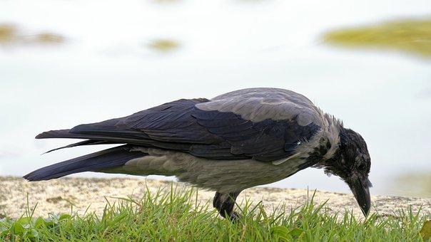 Bird, The Crow, Plumage, Feathers, Grey, Black, Beak