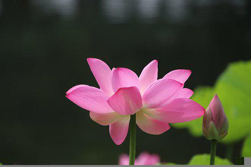 Lotus, Flower, Plant, Bud, Water Lily, Petals