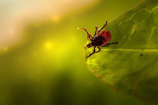 Tick, Insect, Leaf, Parasitic, Arachnid, Arthropod