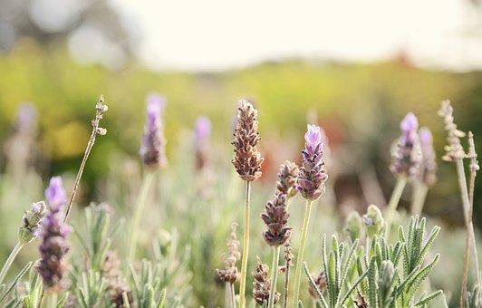 Lavender, Flowers, Field, Purple Flowers