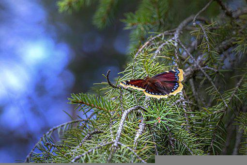 Mourning Cloak, Butterfly, Pine, Nymphalis Antiopa