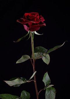 Rose, Flower, Plant, Valentine's Day, Gift, Romance