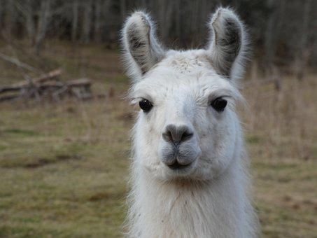 Llama, White Llama, Stare, Big Eyes, Ears