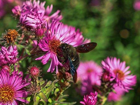 Xylocopa Violacea, Bee, Carpenter Bee, Xylocopa, Nature
