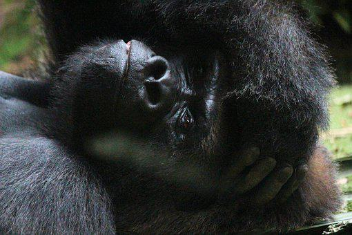 Gorilla, Monkey, Silverback, Ape, Animal, Zoo, Primate