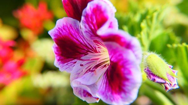Petals, Flower, Geranium, Closeup, Red, Pink, White