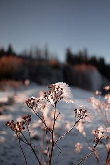Flower, Plant, Snow, Ice, Frozen, Nature, Winter, Land