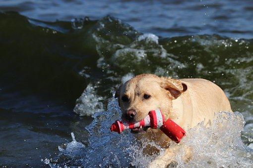 Labrador, Beach, Fetch, Dog, Playful Dog, Sea, Shore