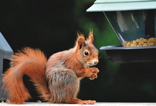 Squirrel, Rodent, Foraging, Wildlife, Forest