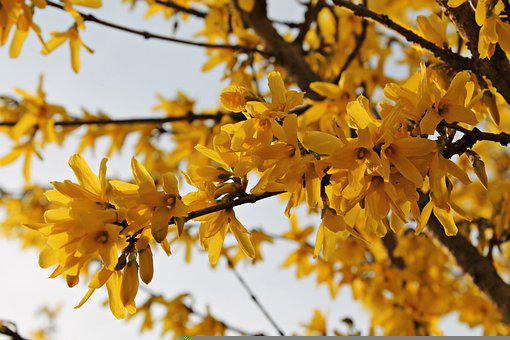 Flowers, Petals, Branches, Tree, Forsythia, Gold Lilac