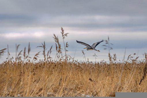Heron, Ardea, Grey Heron, Bird, Flight, Wings, Fly