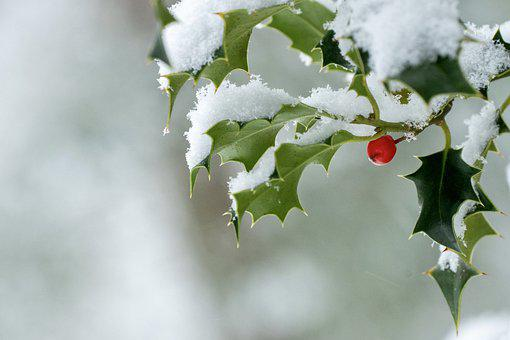 Holly, Branch, Snow, Frost, Frozen, Ice, Winter, Cold