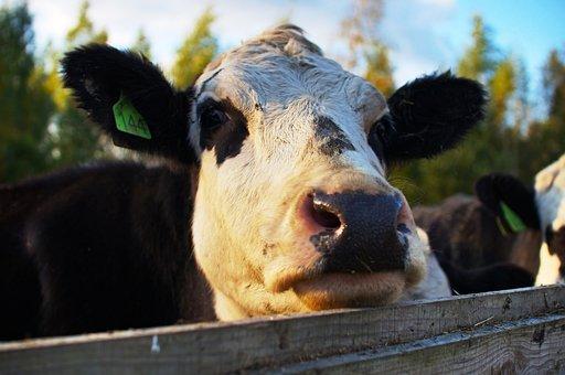 Cow, Fence, Farm, Livestock, Mammal, Ruminant, Cattle
