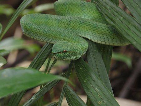 Green Pit Viper, Snake, Leaves, Viper, Reptile