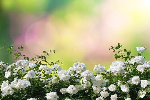 Roses, Flowers, Bush, White Roses, Rose Bush, Bloom