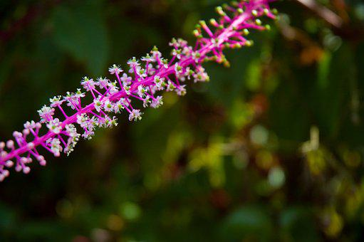 Pokeweed, Flowers, Plant, Small Flowers, Bloom, Blossom