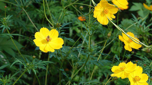Sulfur Cosmos, Flowers, Bee, Insect, Animal
