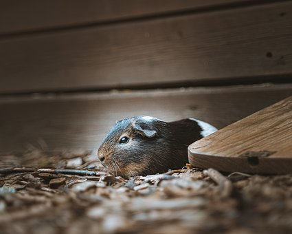 Guinea Pig, Rodent, Pet, Ground, Food, Sweet, Farm