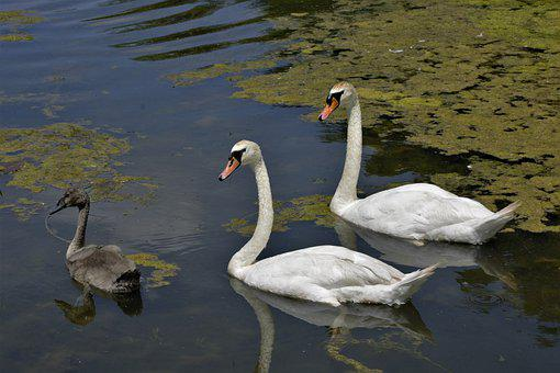 Swans, Birds, Swimming, Family, Baby Swan, Pen, Cygnet