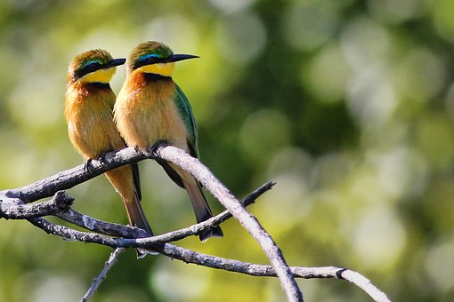 Bee-eaters, Birds, Pair, Branches, Perched