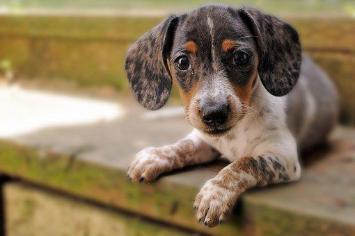 Dog, Puppy, Dachshund, Pet, Cute, Adorable, Hound