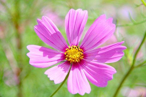 Flower, Cosmos, Petals, Plant, Cosmea, Autumn, Nature