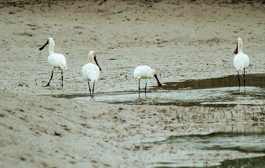 Stork, Swallow, Snail, Floating Lagoon, Herd, Foraging
