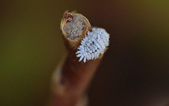Mealybug, Insects, Leaf-eater, Entomology
