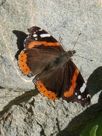 Butterfly, Atalanta, Rock, Vanessa Atalanta