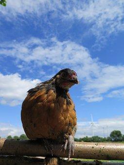 Chickens Chicks, Vorwerk, Outdoor