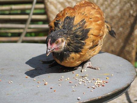 Chickens Chicks, Chicks, Vorwerk