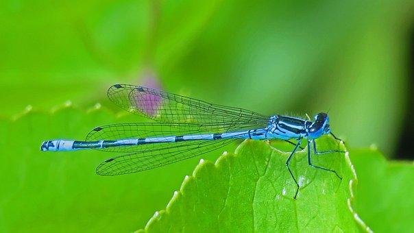 Wildlife, Beautiful, Blue, Closeup, Damselfly