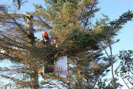 Tree Surgery, Cutting Trees, Cherry Picker, Chainsaw