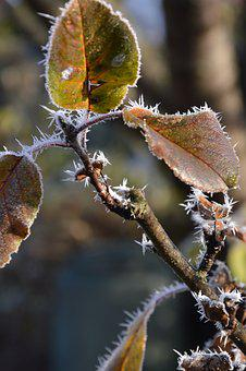 Leaves, Boxer Shorts, Ice, Ripe, Frost