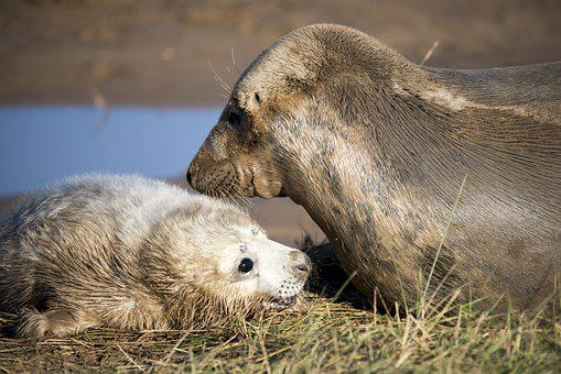 Seal Pup, Seals, Wildlife, Mammal, Pup, Nature, Animal