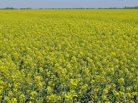 Oil-seed Rape, Colza, Flowers, Yellow, Agriculture