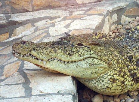 Crocodile, Animal, Zoo, Alligator, Reptile, Predator