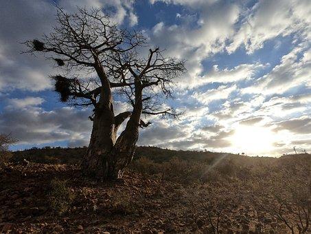 Baobab, Tree, Clouds, Sky, Sunlight, Day Light