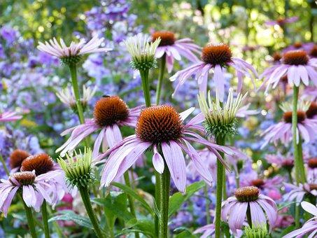 Coneflowers, Flowers, Plants, Echinacea, Buds, Bloom