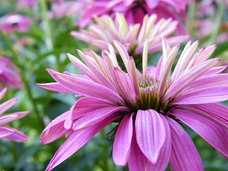 Coneflower, Flower, Plant, Petals, Echinacea, Bloom