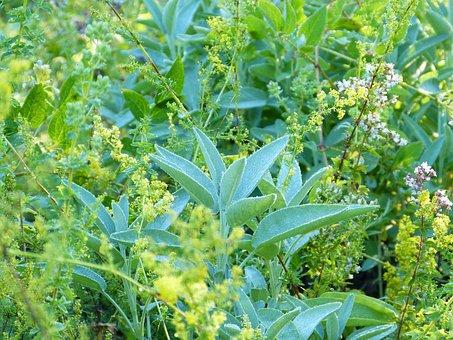 Herbs, Sage, Plants, Bush, Leaves, Foliage, Garden