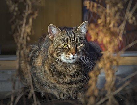 Cat, Tabby, Pet, Mackerel Cat, Face, Whiskers, Animal