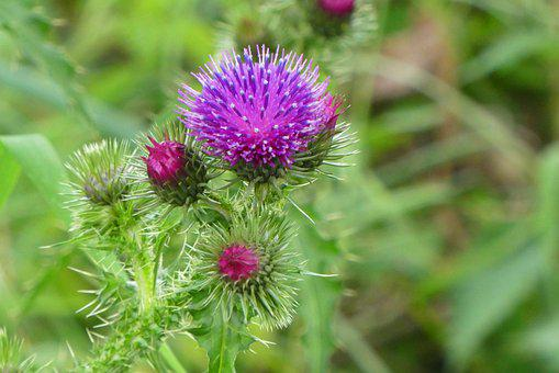Thistles, Flowers, Bloom, Prickly, Blossom, Needles