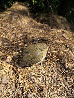 Bird, Nest, Feathers, Plumage, Ave, Avian, Ornithology