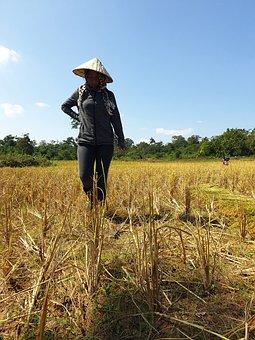 Rice Farm, Paddy, Agriculture, Harvest, Rice Harvest