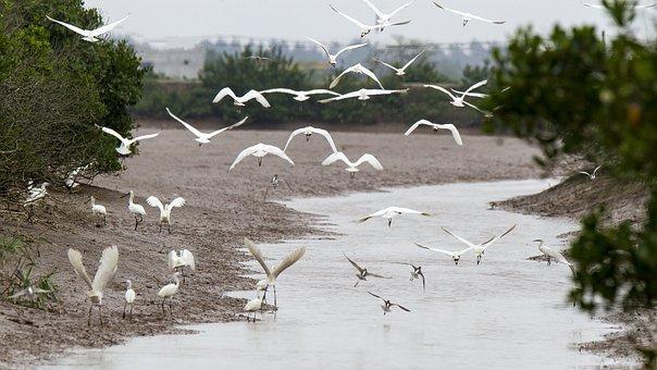 Storks, Flock, Flight, Flying Birds, Migratory Birds