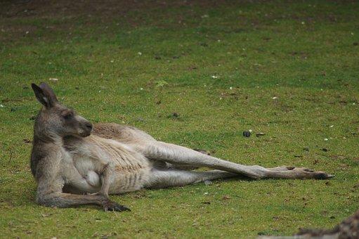 Kangaroo, Animal, Meadow, Marsupial, Wildlife, Rest