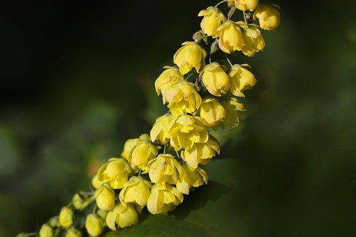 Winter Mahonia, Winter Sun, Blossom, Bloom, Bush