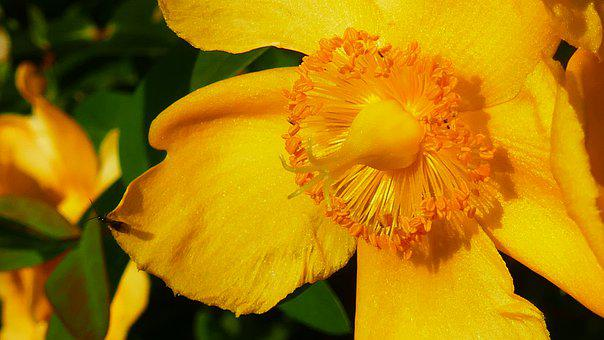 Yellow, Flower, Petals, Insect, Pollen, Nectar